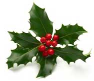 A piece of green holly with red berries